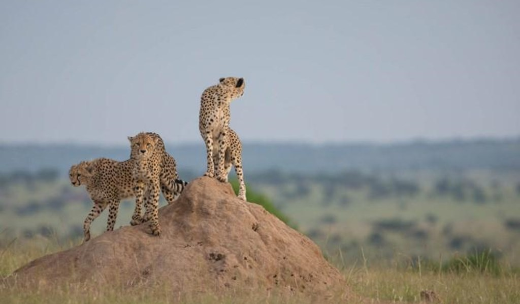 cheetahs in the maasai mara Kenya rental car roadtrip Kenya.jpg