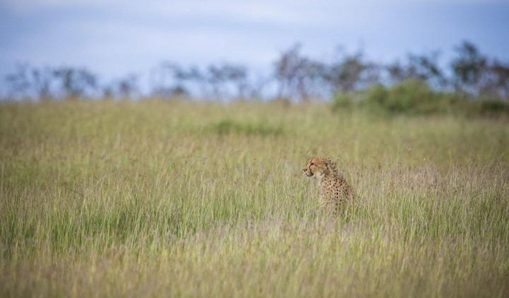 self drive safari kenya Cheetah in the maasai mara.jpg